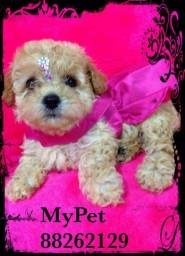 Poodle micro toy com pedigree