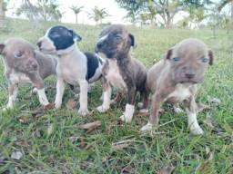 BARBADA filhotes de pit bull red noose puros pela metade do preço