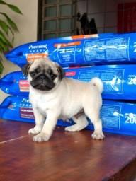 Pug macho com pedigree disponível para entrega. Meu Whatsapp *