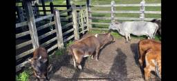 Mini Vacas