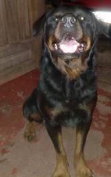 Cachorro (ROTTWEILER)