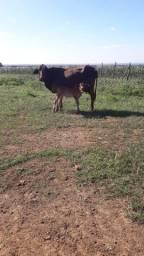 Vaca + bezerra novinha