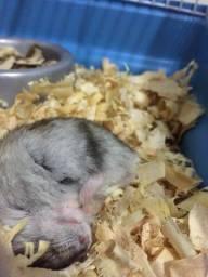 Título do anúncio: 2 hamster