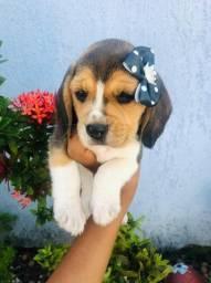 !(Macho e Fêmea)! Beagle 13 Polegadas com Pedigree e Microchip