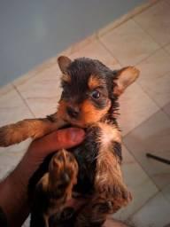 Yorkshire Terrier Fêmea já vacinada!