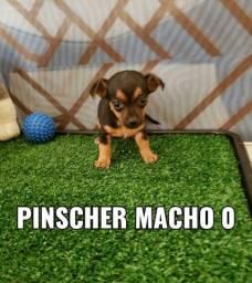 pinscher com as melhores condições