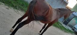 Quarto de milha , cavalo