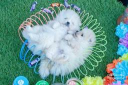 Filhotes Spitz Alemao/Lulu da Pomerania Baby Face