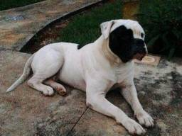 Bulldog Americano. Cão de Guarda
