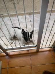 Linda fêmea de Bulldog francês com 1 ano