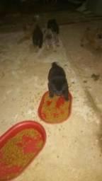 Filhotes chow-chow com husky