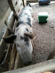 Vende-se porco caipira