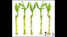 Bambú da Sorte hastes sem vaso