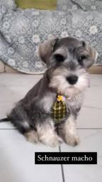 Schnauzer mini com pedigree