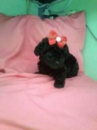 Poodle mini toy fêmea e macho!! Leia o anúncio