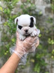 Bulldog Frances lindos (11)9.7796.1054