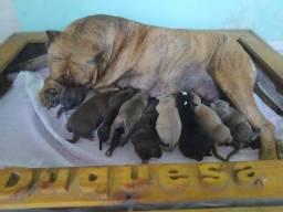 Filhotes de Pit Bull disponíveis