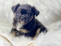 Perfeição de Chihuahua com pedigree disponível