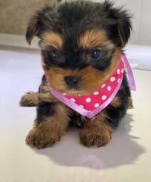 Yorkshire Terrier Fêmea ja adestrada no tapete higiênico