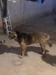 Cachorro de porte grande grande adulto