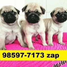Os Melhores Filhotes Cães BH Pug Bulldog Yorkshire Poodle Shihtzu Basset Beagle Maltês