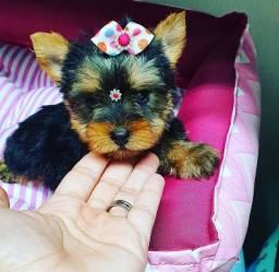 Filhote de yorkshire terrier fêmea de porte pequeno