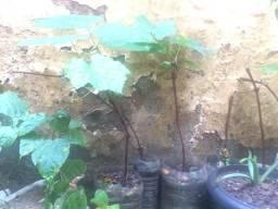 Vendo mudas de uva R$20