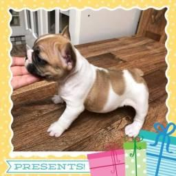 Linda Bulldog Frances fêmea!!!