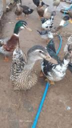Marreco e pato