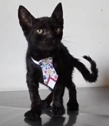 Gatinho preto macho, 2 meses, para adoção