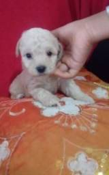 Poodle mini machos
