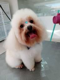Poodle micro toy macho procura namorada.