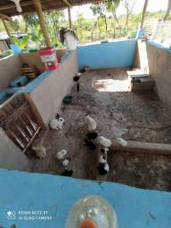 Vende-se coelhos adultos e filhotes troco pro galinha