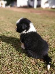Border collie macho preto e branco