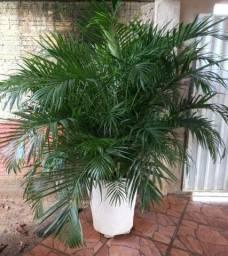 Palmeira R$ 250