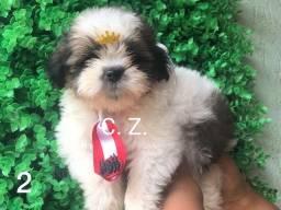Filhotinhos de Shit-Tzu Raça Pura - pedigree