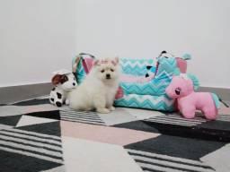 Lulu anão da Pomerania