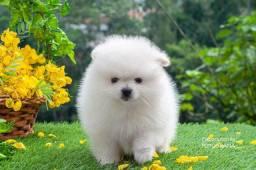 Filhote Lulu Da Pomerania/Macho Baby Face