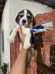 Belíssima beagle com pedigree cbkc