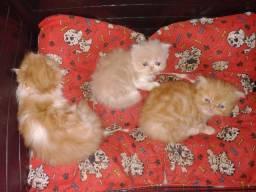 Gato Persa fêmea