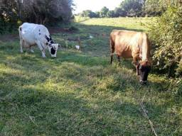 Vacas de leite Resfriador e Ordenhadeira