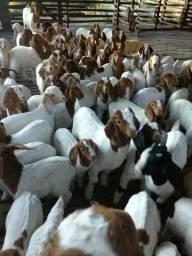 Cabritos de corte e cabras matrizes