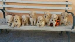 Vendo lindos filhotes de Golden