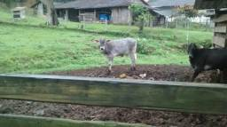 Vendo vaca e bizerra