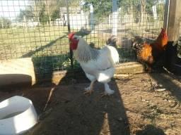 Vendo galos e frangos