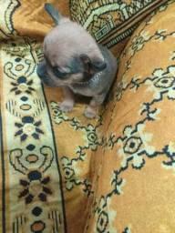 Chihuahua pelo curto femea