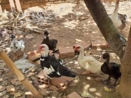 Patos novinhos