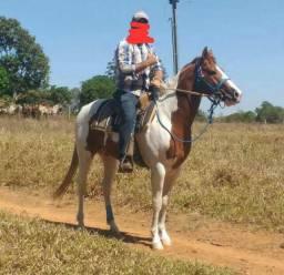 Vende-se cavalo Paint Horse