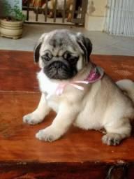 Excelente filhote de pug macho com pedigree disponível. Whatsapp *