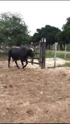 Vaca de leite $9.000,00